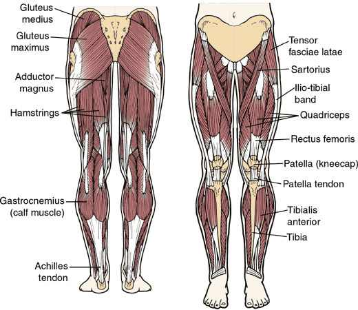 anatomy-of-legs