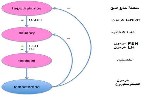 شرح علمي لهرمون التستوستيرون و دوره فى الجسم