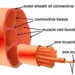 ما هو عدد التكرارات والمجموعات لنفخ العضلات في أقصر وقت؟