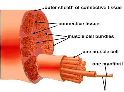 ما هو عدد التكرارات و المجموعات لنفخ العضلات في أقصر وقت؟ 2