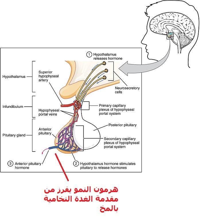 أفراز هرمون النمو من الغدة النخامية بالمخ