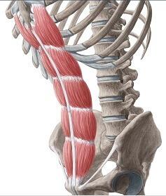 تشريح عضلات البطن