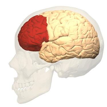 فص المخ الأمامي قوة الأرادة