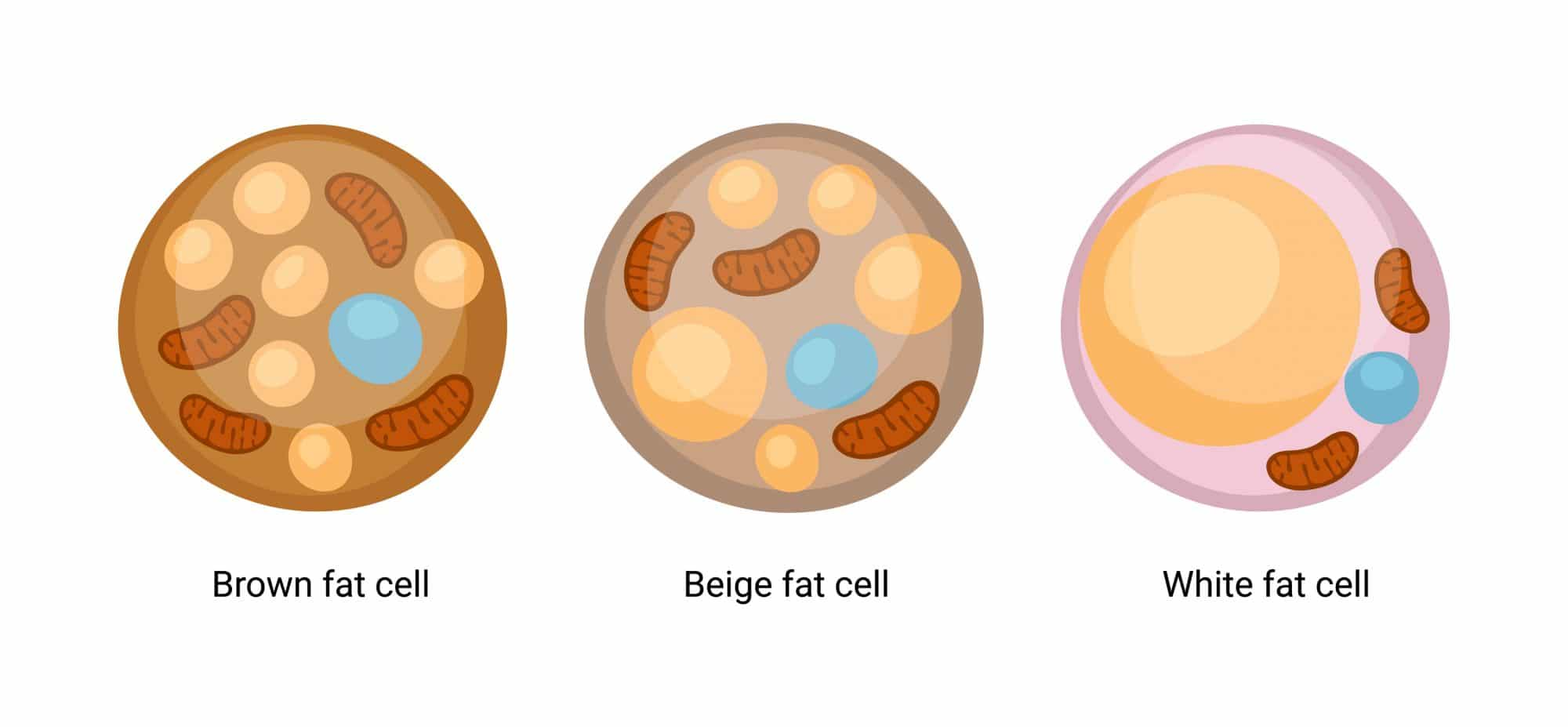 Brown fat cell - White fat cell - Beige fat cell