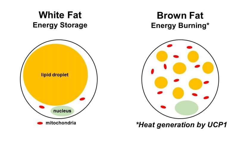 الدهون البنية Brown Fat - الدهون البيضاء White Fat