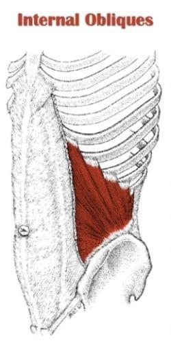 تشريح عضلة ال Internal Obliques