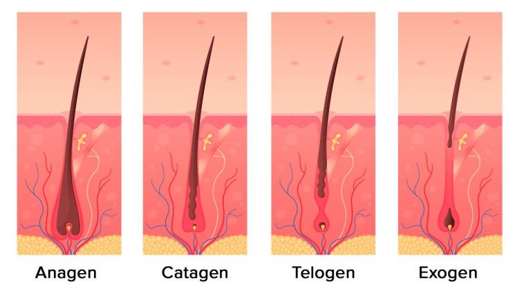 دورة نمو الشعر